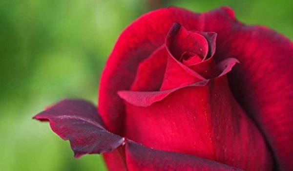 مدیتیشن گل سرخ چیست و به چه صورت انجام می شود و چه فوایدی دارد؟